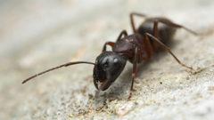 How Ants Get a Taste for the Trail