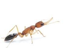Carlos Quiros on Jack Jumper Ants