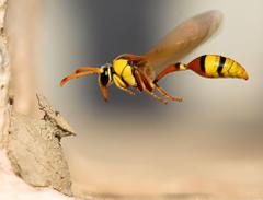 Wasp HD Wallpapers