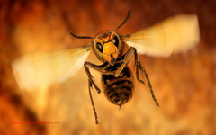Wasp Insect Close Up Hd Wallpapers