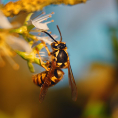 Wasp Pictures