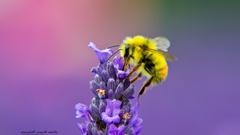 Honey Bee Lavendar Nectar