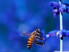 Honey Bee Blue Lavender Flowers HD Desktop Wallpapers for 4K