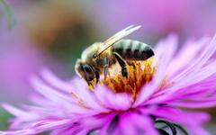 Bees Wallpapers