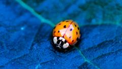 Wallpapers ladybird beetle flower blue Animals
