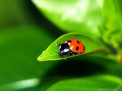 Wallpapers Green Ladybug Leaf Ladybird Ladybird Desktop Backgrounds