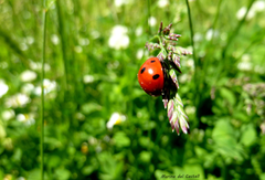Ladybug beetle on green grass closeup photography ladybird HD