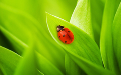 Greatest Ladybird On A Leaf Wallpapers