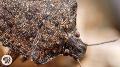 Samurai Wasps Say Smell Ya Later Stink Bugs