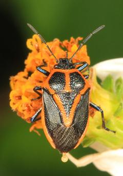 Orange and black insect stink bug slough florida HD