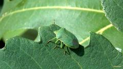 Green shield bug on a leaf