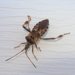 Stink Bug wallpapers Animal HQ Stink Bug pictures