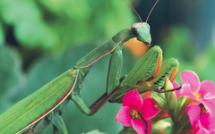 Praying Mantis Wallpapers and Backgrounds