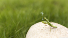 Mantis Smoking 4K HD Desktop Wallpapers for Dual Monitor