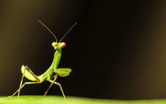 Praying Mantis Wallpapers