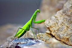 paulbarford heritage the ruth Praying Mantis Wallpapers