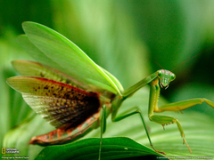 Praying Mantises image Praying Mantis Wallpapers collection HD