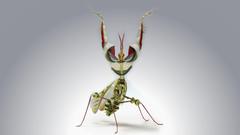 Devil s Flower Mantis