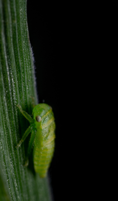 stock photo of insect leafhopper macro