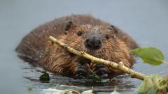 American Beaver Bing Wallpapers