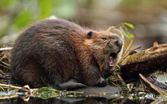 Beaver HD Wallpapers