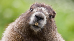 Wallpapers Beaver Face Teeth Fur