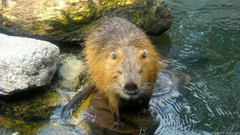 Wallpapers with beaver in the water