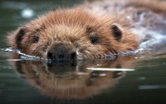 Wallpapers of Animal Beaver Reflection Water Wildlife