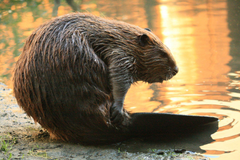 Beaver HD Backgrounds