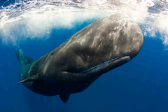 Bowhead Whale Best Wallpapers 18689