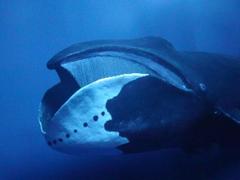 Bowhead whales have a 12