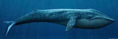 Bowhead whale Questionable Evolution