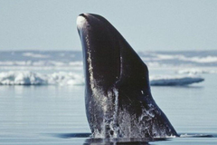 Bowhead whale genome may unlock its longevity secrets