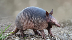 Armadillo Wallpaper Backgrounds