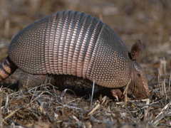 commom long nosed armadillo