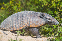Brown armadillo near green plant HD wallpapers