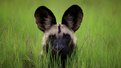 African wild dog HD Wallpapers