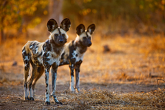 African Wild Dog Wallpaper HD Backgrounds