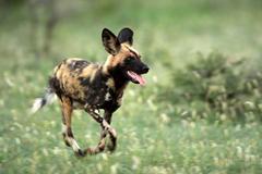 African Wild Dog Pictures Diet Breeding Life
