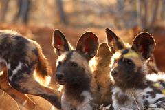 African Wild Dog Pups Wallpapers wwwpixsharkcom