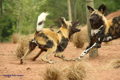 WildLife African Wild Dog Facts Image