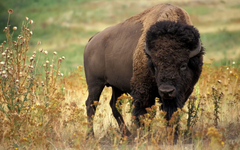 American Bison Wallpapers