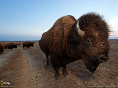 Bison Photo Animal Migration Wallpapers National Geographic