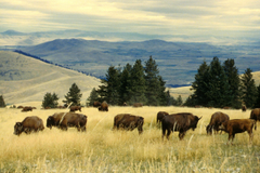 Bison herd grazing at the national bison range royalty stock