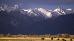 Grazing Bison Sangre de Cristo Range Colorado