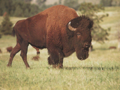 The Image of Animals Wildlife Bison Fresh HD Wallpapers