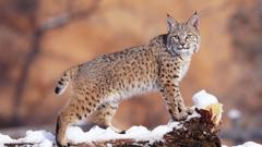 Animals Watchful Bobcat Uinta National Forest Utah desktop