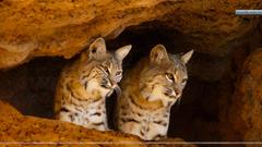 Bobcats Tucson Arizona Wallpapers