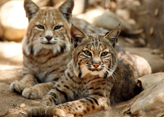 Awesome Bobcat HD Wallpapers