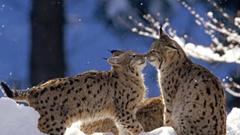 ScreenHeaven Bobcats bobcat feline snow cat wildlife winter